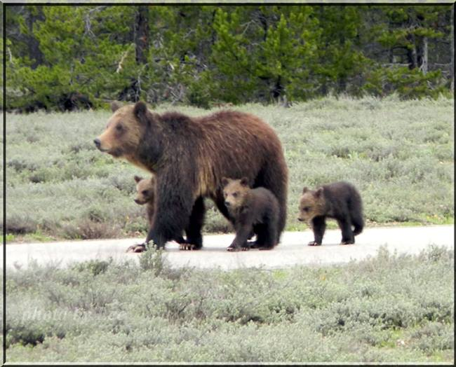 Grizzly 399 with Cubs, May 2013